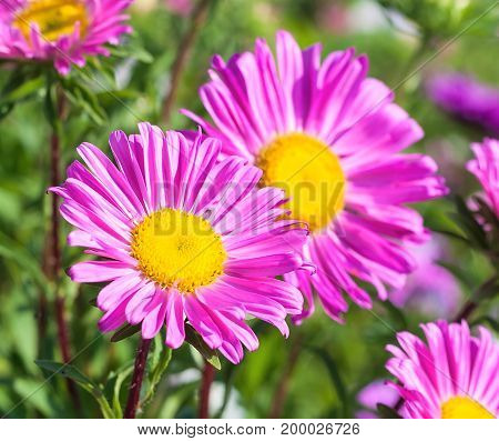 Beautiful flowers of purple asters in nature on a green background