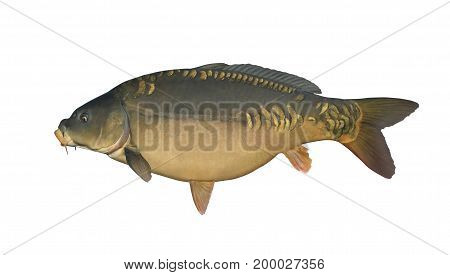 Mirror Carp Isolated On White. Fish Trophy