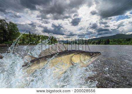 Zander Fish Jumping With Splashing In Water