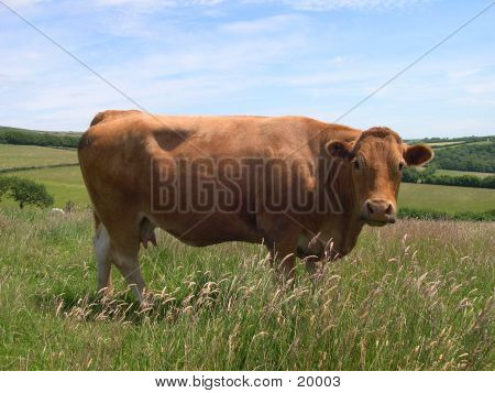 cow in a field, exmoor england poster