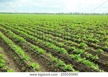 Beds of potato bushes on plantation