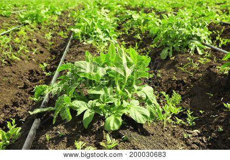 Potato bushes on plantation