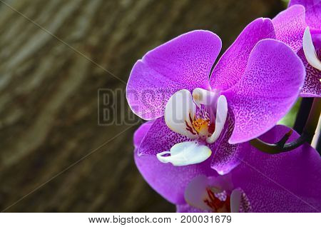 Orchid flower in tropical garden on blurred wooden background close up.Phalaenopsis Orchid flower growing on Tenerife,Canary Islands.Floral background.Selective focus.