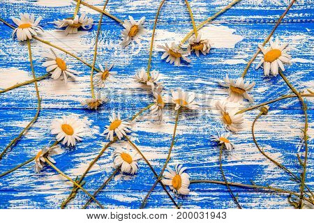 A lot of Chamomile lie on a blue wooden background