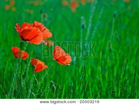 poppys on a meadow