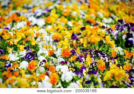 Background Of Summer Flowers, Meadow Of Vivid Pansies (violas), Selective Focus, Shallow Depth Of Fi