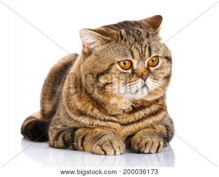 cat, straight, scottish, striped, kitten concept - Scottish striped cat lying on a white background