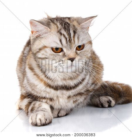 big cat, beautiful cat, purebred cat, fluffy cat, proud cat - cute Scottish straight cat bicolor striped isolated on white background, looking down