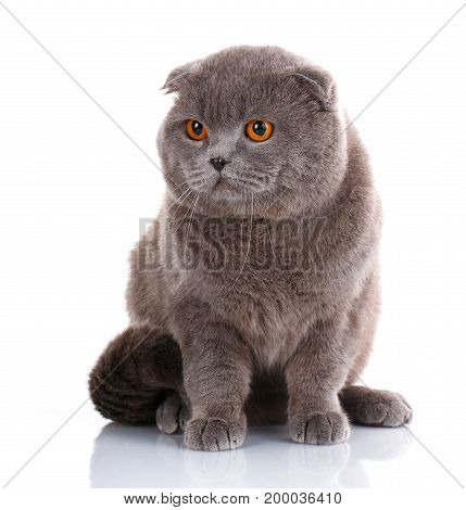 big cat, beautiful cat, purebred cat, fluffy cat, proud cat, gray cat - Big British Shorthair cat portrait on a white background