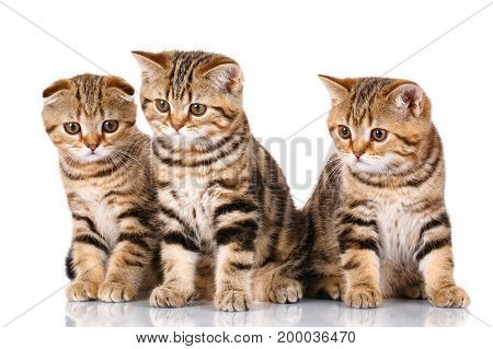 kittens, cute, fluffy, pets conceptt - hree young cheerful Scottish kittens sitting, isolated on white background