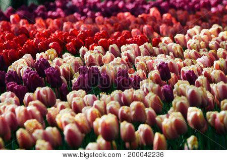 Rows of red pink and purple tulips grow on the field in Keukenhof The Netherlands