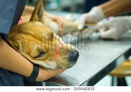 Close up head brown dog line on tied mouth feeling hurt with bured background Hand's Veterinarian or student wear latex gloves using syringe an injection to leg