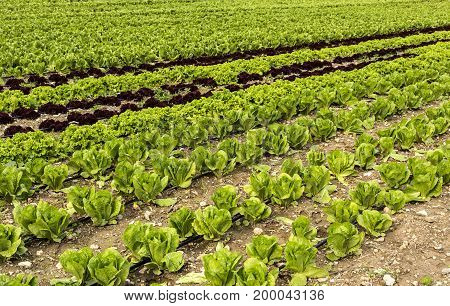 Agriculture. Several types of leaf lettuce grow on the bed