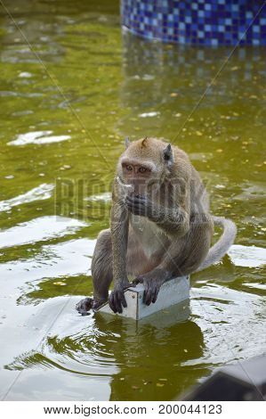 Long-tailed macaque Or Crab-eating macaque eating water from the pond with plastic scraps. Thailand.