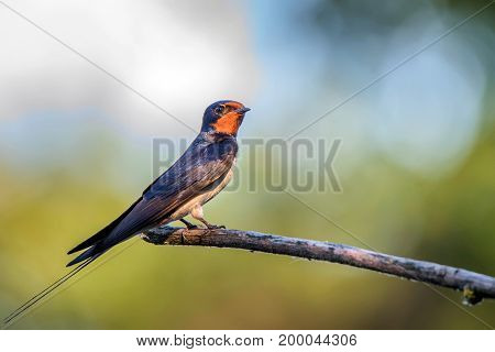 Close up barn Swallow or Hirundo rustica perching on a tree branch