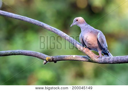 Close up Collared dove or Streptopelia decaocto sitting on tree branch
