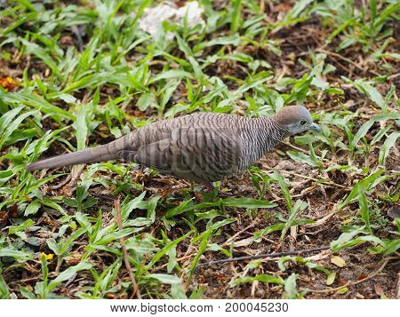 The turtle dove are walking on the ground.