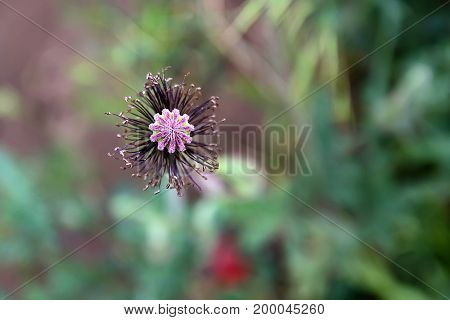 Closeup image of poppy flower that stopped blossoming