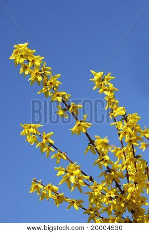 Forsythia And Sky
