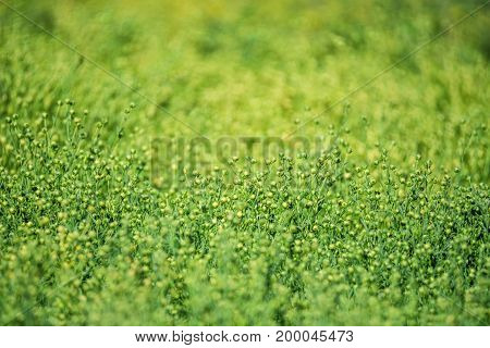 Close up fruis of flax growing in field