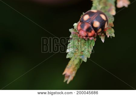 image of a beetle that mimics ladybird on green leaf
