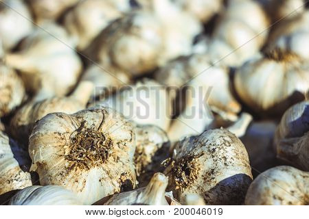 Lots of common fresh Garlic background Allium sativum L.