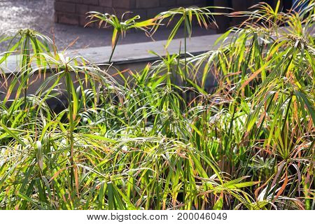 Close up green Cyperus papyrus on sunny day