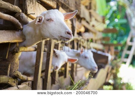 Three curious domestic white goats stick their heads through vintage wooden bars of stable.