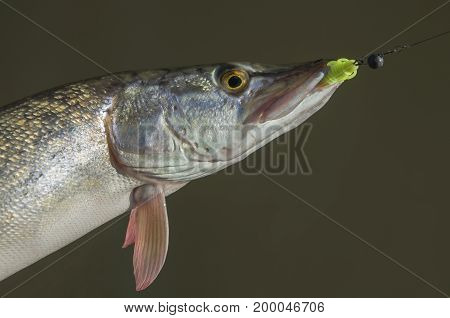 Catched Pike Fish In Water. Fishing Background