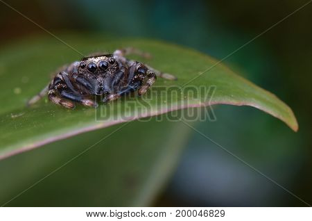 macro image of a fighting spider (Thiania sp)