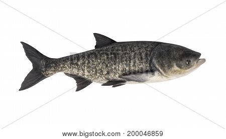 Big Silver Carp Isolated On White. Fish Trophy