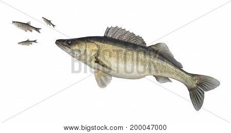 Big Sander Isolated On White. Fish Attacks Of Small Fish