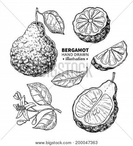 Bergamot vector drawing. Isolated vintage  illustration of citrus fruit, slices, flower. Organic food. essential oil engraved style sketch. Beauty and spa, cosmetic and tea ingredient. Great for label, poster, flyer, packaging design.
