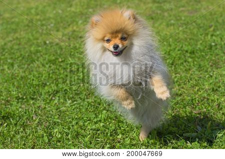 The dog jumps on the lens. Spitz is a decorative breed of dogs. Runs on the green grass, well lit by the sun. Space under the text. 2018 year of the dog in the eastern calendar Concept: parodist dogs, dog friend of man, true friends, rescuers.