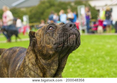 Rottweiler is a short-haired breed of mastiff type dogs. Against the background of a green blurred grass. Space under the text. 2018 year of the dog in the eastern calendar. Concept: parodist dogs, dog friend of man, true friends, rescuers.