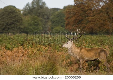 Red Deer Stag During Rut Season In Richmond Park London England