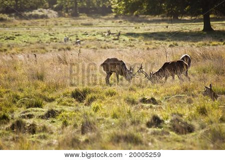 Red Deer Stags During Rut Season In Richmond Park London England