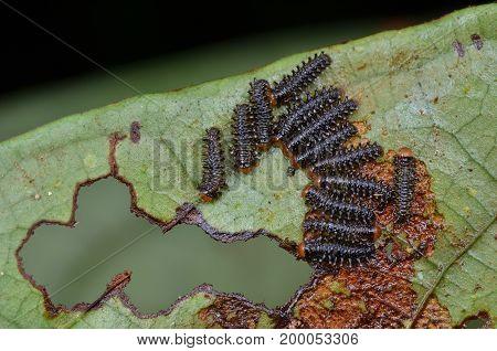 macro image of sawfly larvae on green leaf