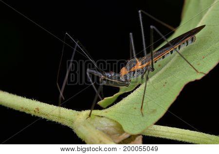 close up image of an assassin bug