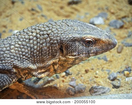 Closeup Head of Savannah Monitor on Stone with Sand Background