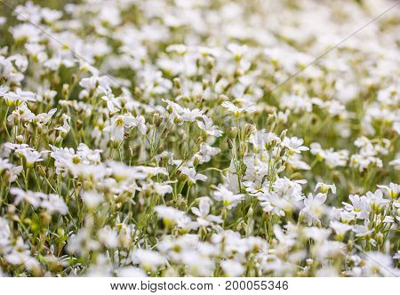 Field of a beautiful white flowers daisies