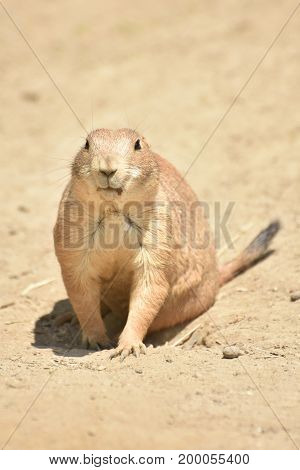 Adorable Black Tailed Prairie Dog Up Close Living in Nature