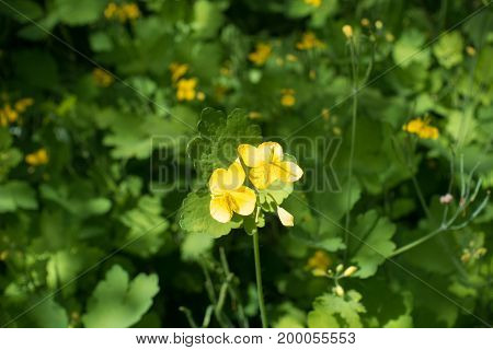Two Four Petaled Yellow Flowers Of Chelidonium