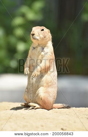 Cute Prairie Dog with Black Eyes in Nature