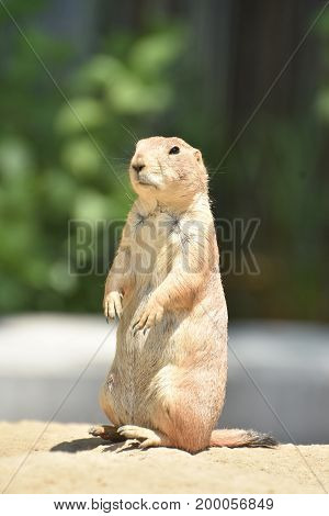 Precious Black Tailed Prairie Dog Relaxing on a Rock