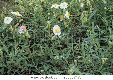 Flowering Helianthemum Apenninum Plants In Late Spring