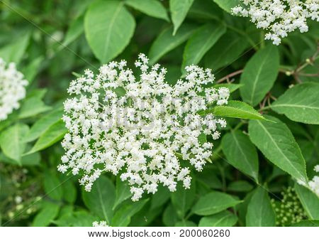Elderberry tree in blossom. Nature background.