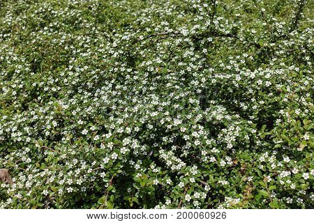 Lots Of White Flowers Of Cotoneaster Horizontalis