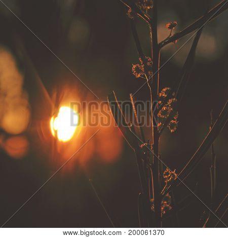 Sunset behind a native Australian Sweet wattle, Acacia suaveolens, in the Royal National park, NSW, Australia