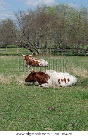 Longhorns Resting
